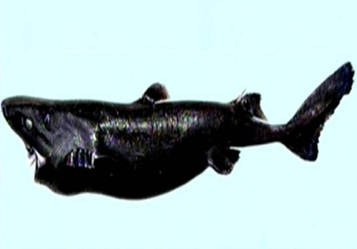 glow in the dark new species of shark Discovered